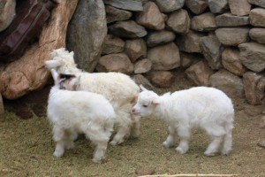 Goats at the home-stay